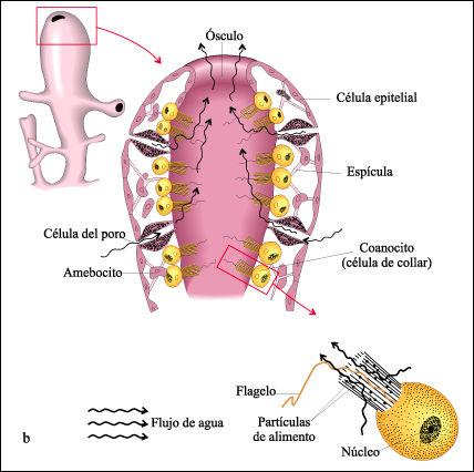 coanocitos