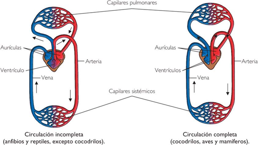 Circuito Circulatorio : La función de nutrición en los seres vivos º bachiller