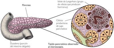 Estructura de una glándula, el páncreas