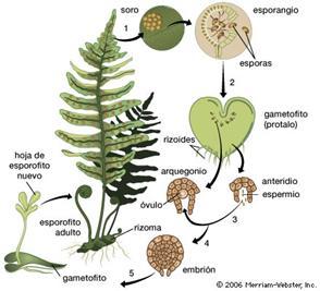 Reproduccion asexual en plantas gemacion